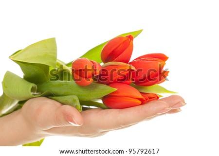 Tulip in hands - stock photo