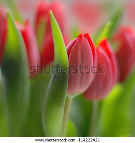 tulip in the field - stock photo