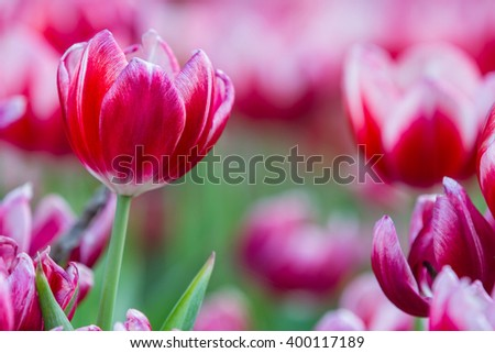 Tulip in the garden in day time