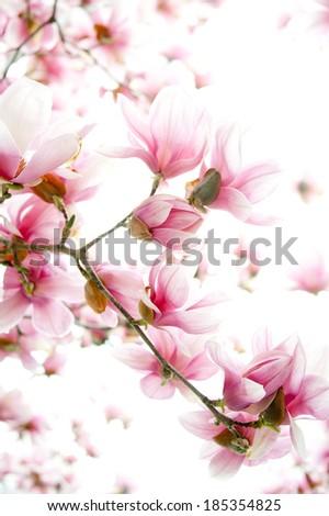 Tulip Magnolias - stock photo
