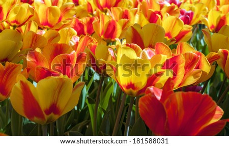 tulip nature background spring colourful flowers