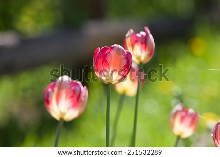 tulip on a sunny day - stock photo