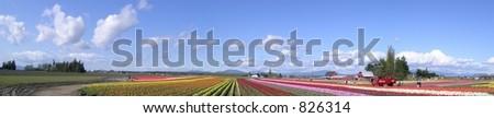 Tulip Panorama  at the skagit valley tulip festival in washington state , usa - stock photo