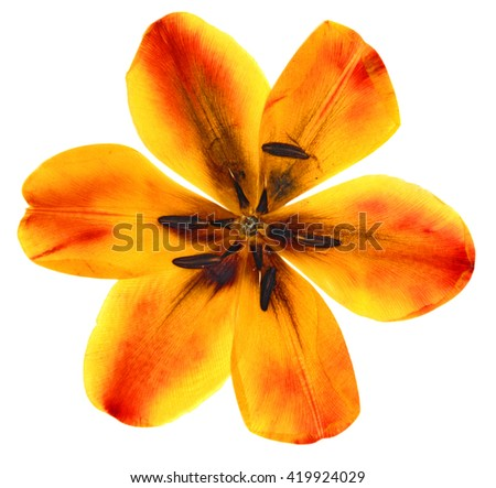 tulip perspective, dry delicate yellow, red, orange flowers and petals isolated on white background scrapbook pressed - stock photo