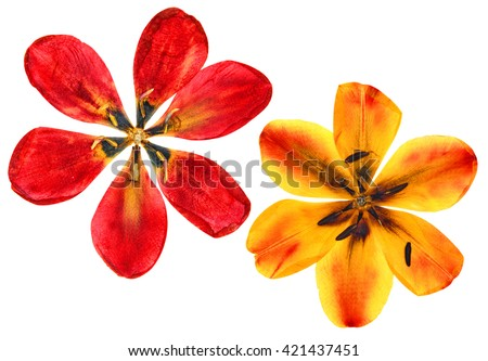 tulip perspective, pressed delicate flowers and dry petals  isolated on white background scrapbook  - stock photo