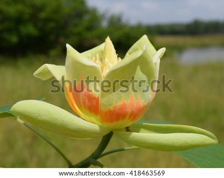 Tulip poplar flower - stock photo