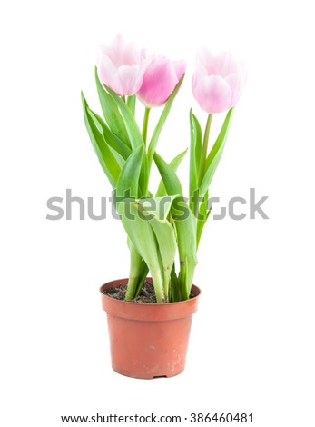 tulip pot in spring time close up - stock photo