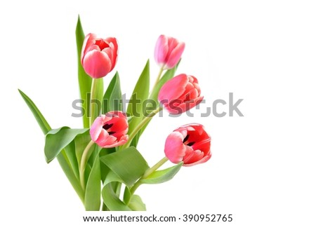 Tulip. Red tulips, bouquet of tulips, tulips isolated, tulips in bouquet, beautiful tulips, colorful tulips,  tulips petals, tulips on white, isolated tulips on white background. Tulips for card. - stock photo