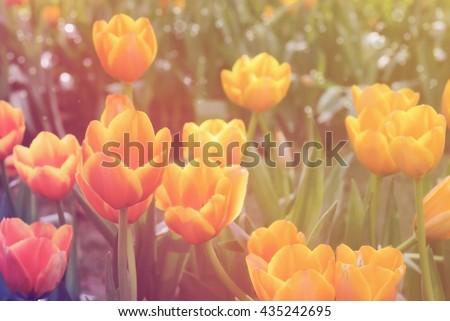 Tulip. Spring tulips on the meadow under sun rays, Beautiful tulips. colorful tulips. tulips in spring,colourful tulip, tulip on sun light, Tulipflora, Tulip flower, Tulip in park thailand.  - stock photo
