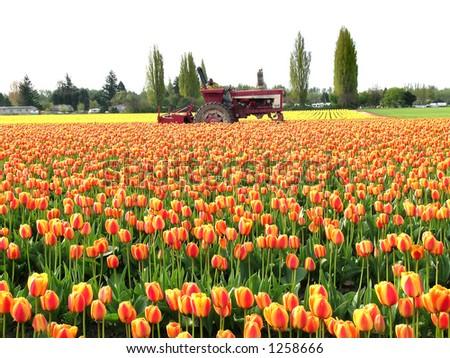 Tulip Tractor - stock photo