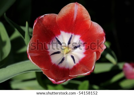 tulip, tulipa - stock photo