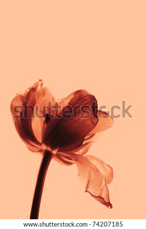 tulip (Tulipa) isololated on apricot colored background - stock photo