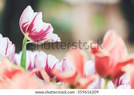 tulip vintage tone - stock photo
