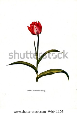 """Tulipa Micheliana Hoog - an illustration from the book """"Species of flowers bulbes of the Soviet Union"""", Moscow, 1935 - stock photo"""