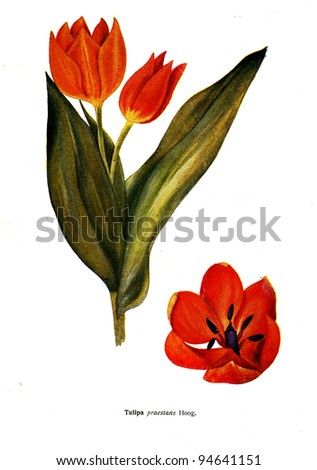 """Tulipa praestans Hoog - an illustration from the book """"Species of flowers bulbes of the Soviet Union"""", Moscow, 1935 - stock photo"""
