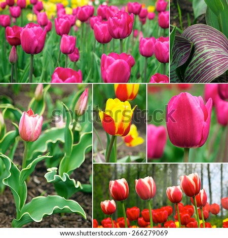 Tulips. A bulbous spring-flowering plant of the lily family, with boldly colored cup-shaped flowers. - stock photo