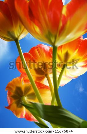 Tulips against blue sky - stock photo
