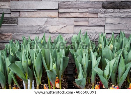 Tulips against the wall on a flower market stall, unfuled - stock photo