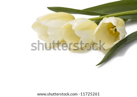 tulips against white background
