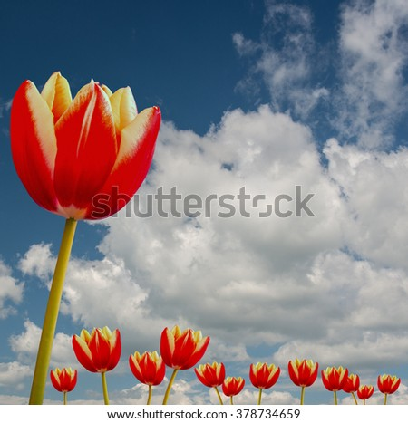tulips and a blue sky