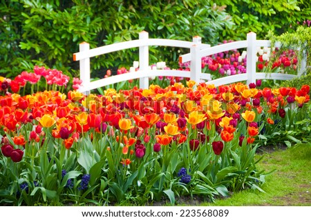 Tulips and a bridge in Keukenhof garden, Netherlands - stock photo