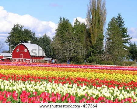 Tulips and Barn - stock photo