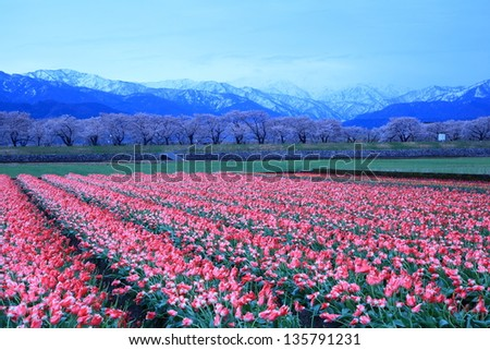 Tulips and cherry tree and The Japan Alps at daybreak - stock photo