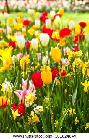 Tulips and daffodils in lots of colors in park in spring - stock photo