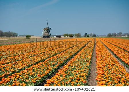 Tulips and windmill ,Netherlands - stock photo