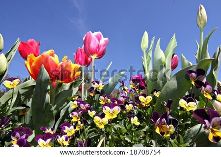 Tulips at Canberra's Floriade Festival - stock photo