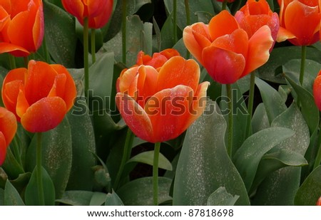 Tulips, bed - stock photo