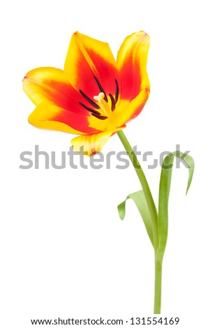 tulips bloom single on white background - stock photo