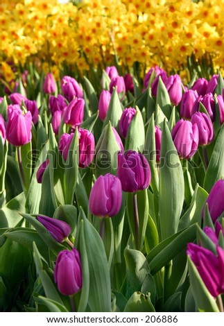 Tulips Blooming - stock photo