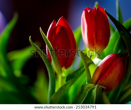 tulips bouquet isolated on black background - stock photo
