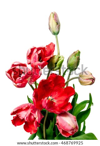 tulips bouquet of three flowers on a stem with leaves Isolated on white background