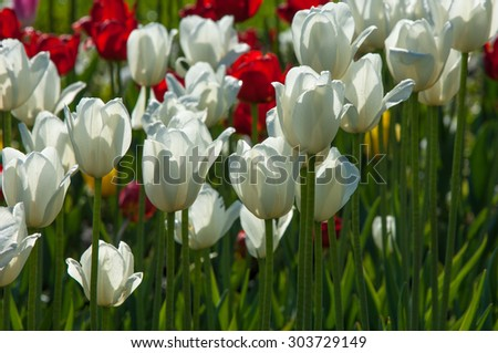Tulips. Bulbous plant seeds. lily flowers with large, cup-shaped.  Beautiful bouquet of tulips. colorful tulips. tulips in spring.  - stock photo