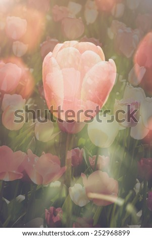 Tulips Double Exposure with Instagram Style Filter - stock photo