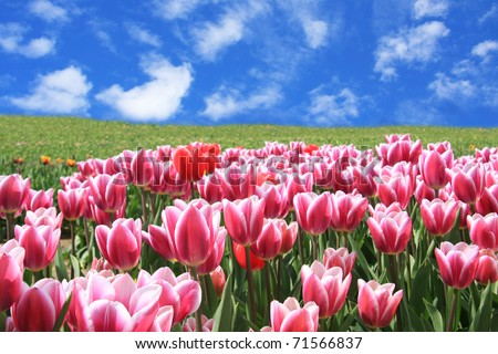 Tulips field against a bright blue sky in spring. - stock photo