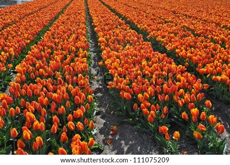 Tulips fields in the spring of The Netherlands. - stock photo