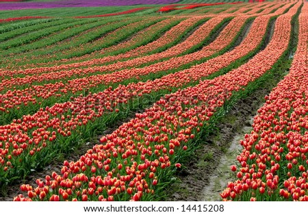 Tulips filed by Cheam Mountain, Agassiz, BC, Canada