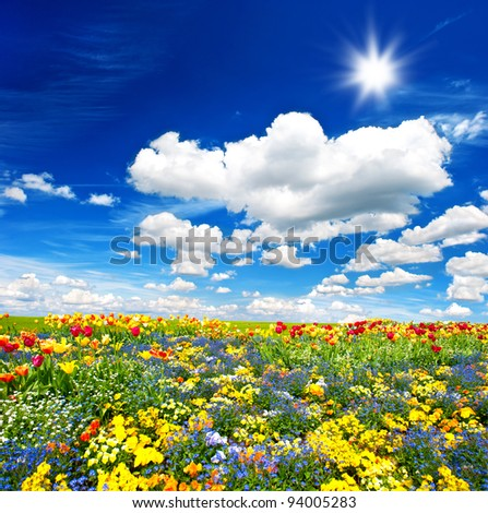 tulips flower bed. colorful flowers over cloudy blue sky