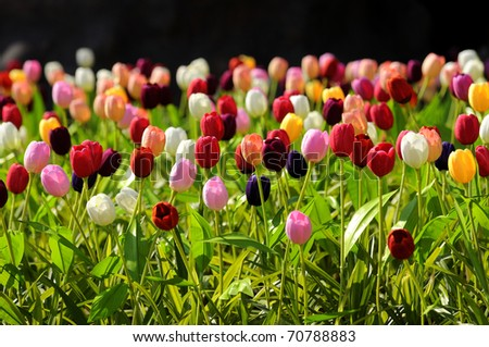 Tulips flower colorful - stock photo