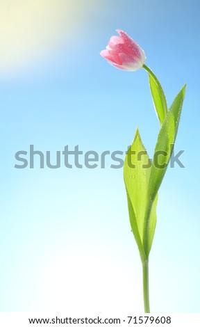 tulips flowers on blue sky and sun - stock photo