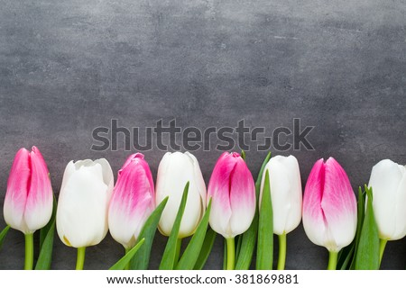 Tulips, flowers white and pink; on the grey background.