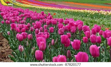 Tulips Garden,blossoming - stock photo