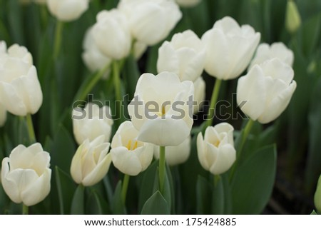 tulips growing in garden