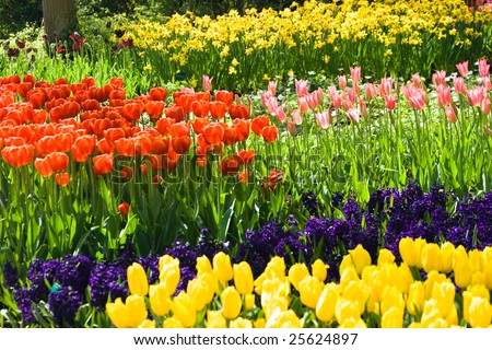 Tulips, hyacinths and daffodils in many colors in spring - stock photo