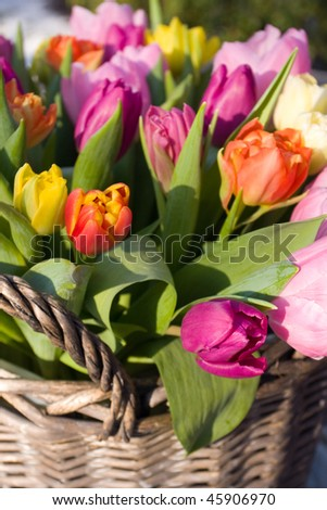 Tulips in a basket - stock photo