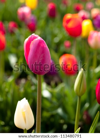 Tulips in a blooming field - stock photo