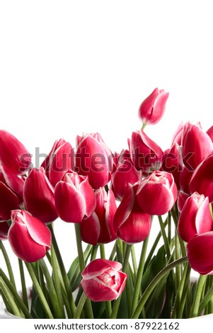 Tulips in a bucket on a white background - stock photo